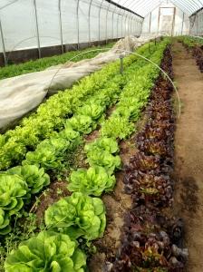 Winter lettuce.