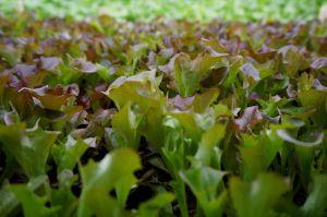 2015 Feb lettuces